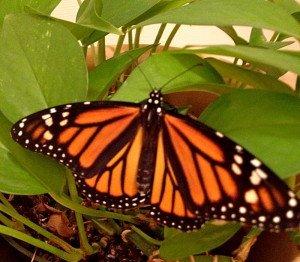 Female Monarch Butterfly.